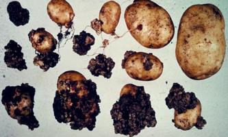 Хвороби картоплі і способи боротьби з ними