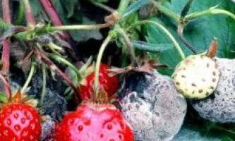 Хвороби полуниці