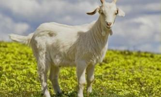 Хвороби кіз: профілактика і лікування