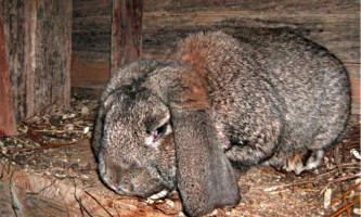Хвороби кроликів і їх лікування