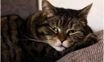 Хвороби печінки у кішок: симптоми, лікування і профілактика