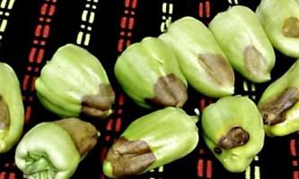 Хвороби перцю і методи лікування