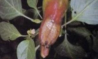 Хвороби перцю