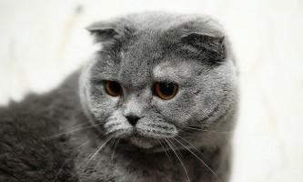 Хвороби шотландських висловухих кішок