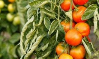 Хвороби томатів і методи боротьби з ними