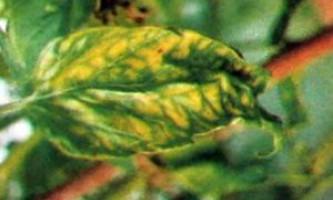 Хвороби томатів у теплиці і у відкритому грунті