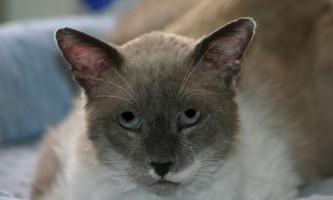 Хвороби вух у кішок: симптоми і лікування