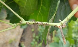Хвороби винограду і їх лікування