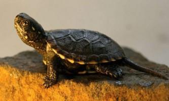 Болотяна черепаха