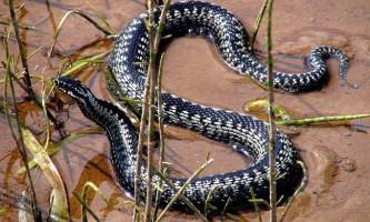 Болотяна гадюка - отруйна рептилія