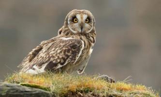 Болотяна сова: фото і відео крилатого мишолова