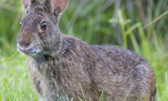 Болотний кролик - житель північної америки