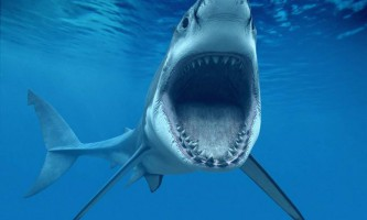 Велика біла акула. Фото, опис тварини
