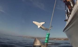 Велика біла акула не витримала популярності своєї подруги