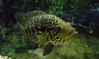 Велика ціхлазома із забарвленням «ягуар»