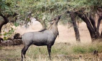 Велика індійська антилопа, або нільгау