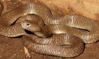 Велика коричнева плюющаяся кобра - змія на межі зникнення