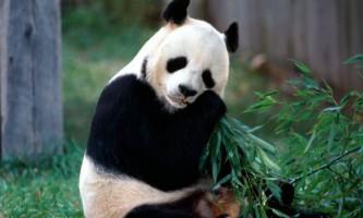 Велика панда - плямистий ведмідь