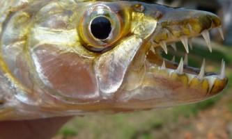 Велика тигрова риба - старший брат піраньї