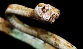 Великоокий уліткоед - змія-пожирач молюсків