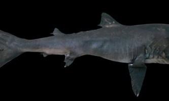 Отакецький акула - рідкісний екземпляр планети земля