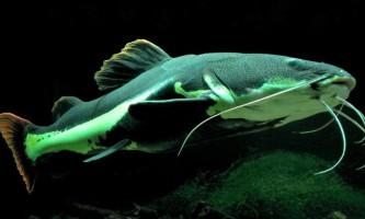 Великі рибки для домашніх акваріумів