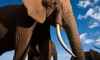 Великі тварини у великій біді: «говорять» кадри спеціально до всесвітнього дня слонів