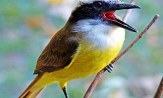 Великий кіскад - гучна товариська птах