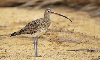 Великий кроншнеп: опис і спосіб життя птиці