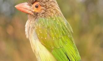 Великий зелений барбет - дятел з борідкою