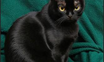 Бомбейська кішка (bombay cat)