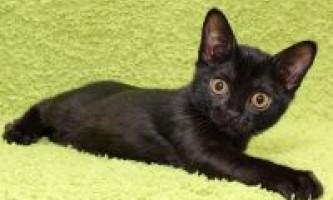 Бомбейські кошенята