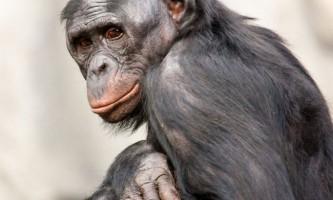 Бонобо - інтелектуальні шимпанзе