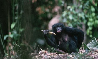 Бонобо здатні заспокоїти свого засмученого товариша