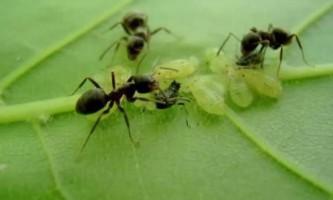 Боротьба з мурахами на садовій ділянці: 20 кроків