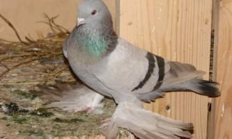 Боротьба з сальмонельозом голубів за допомогою віросальма