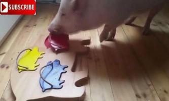 Боротьба в грязі зі свинями