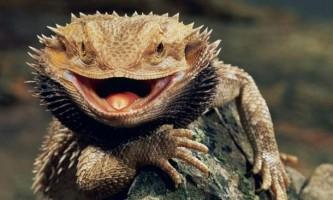 Бородата агама. Спосіб життя австралійської ящірки
