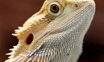 Бородата агама (pogona vitticeps)