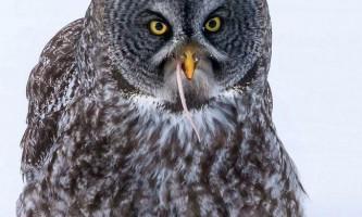 Бородата сова за полюванням