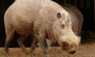 Бородата свиня - цікаве природне створення