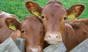 Бородавки у корови: причини і лікування