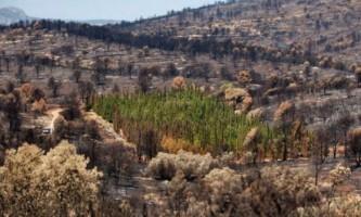 Ботаніки ворожать над таємницею стійких до пожеж дерев
