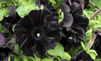 Ботаніки вивели сорт чорних кольорів