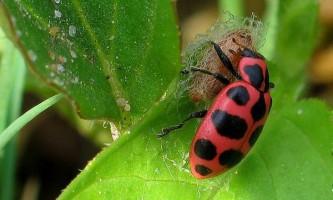 Сонечка захищають личинки ос-паразитів