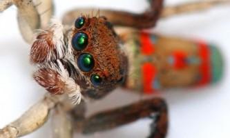 Шлюбний танець павука-павича (maratus volans)