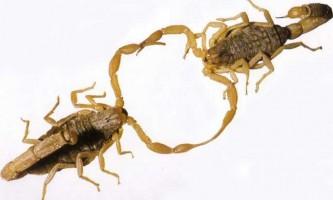 Шлюбний танець скорпіонів