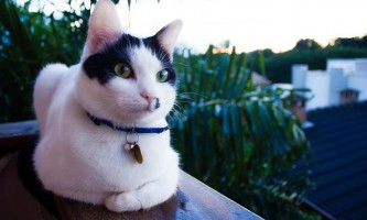 Бразильська короткошерста кішка