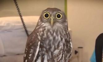 Очманіла сова за п`ять секунд підкорила інтернет-користувачів