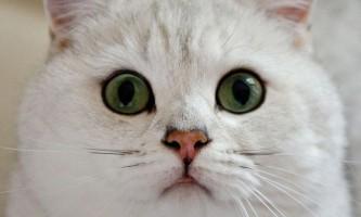 Британська короткошерста. Популярна порода кішок